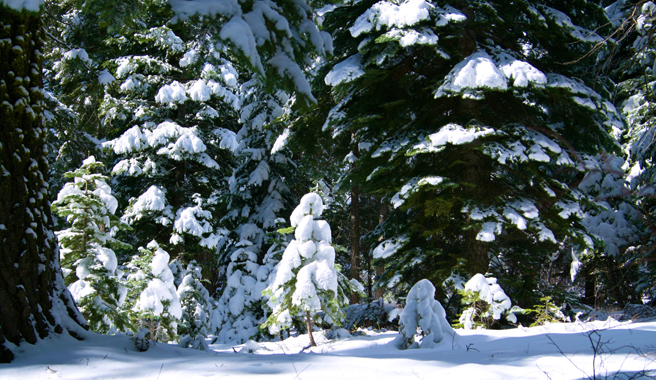 Truckee Trees in Snow - Marie Cameron 2015