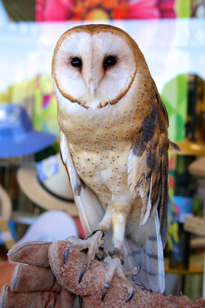 Barn Owl W.E.R.C. photo Marie Cameron 2015