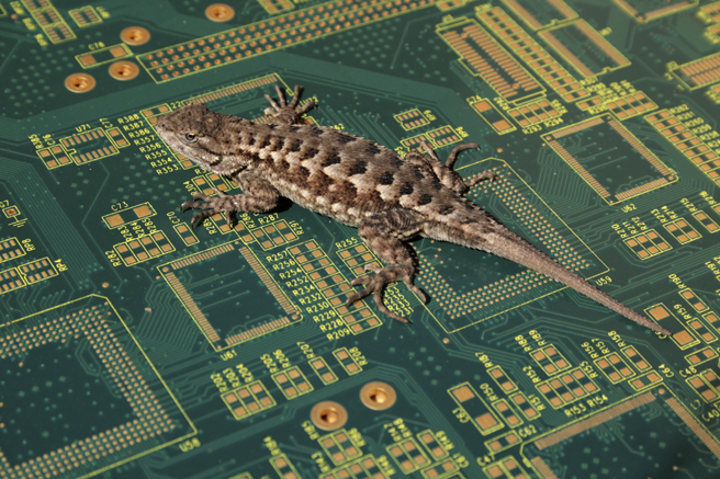 Blue Belly on a circuit board