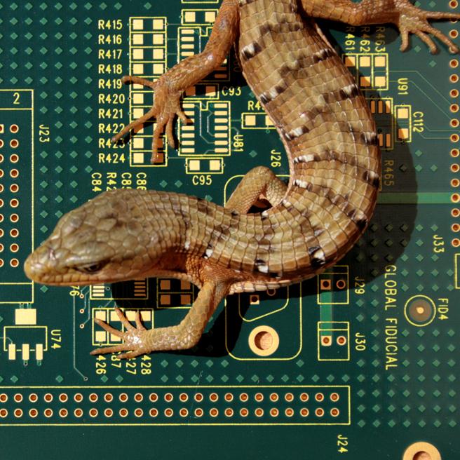 Californnia Alligator Lizard contraposto