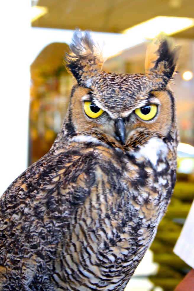 Great Horned Owl W.E.R.C. photo Marie Cameron 2015