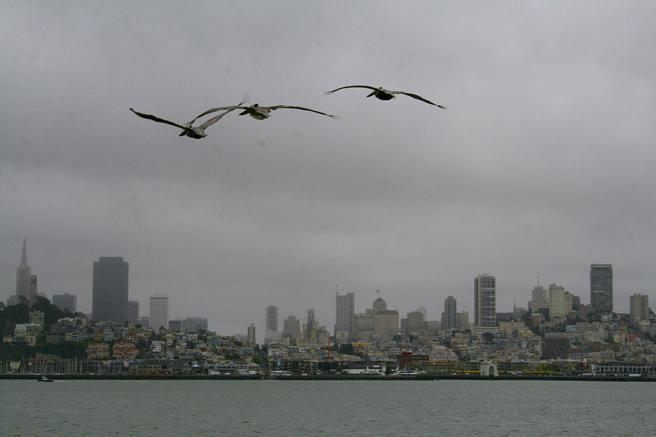 Pelicans flying away from Alcatraz