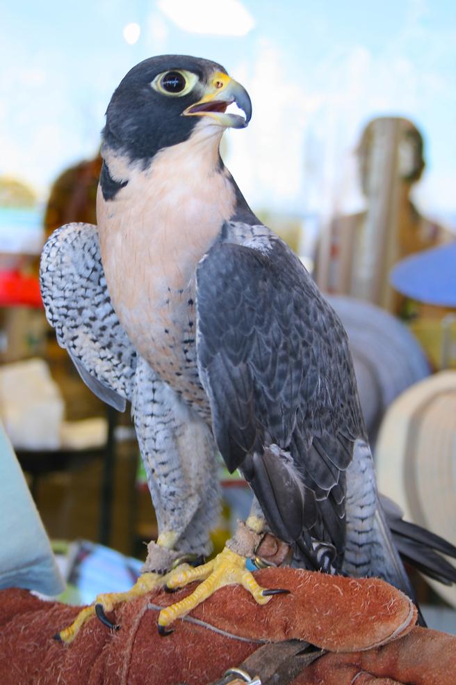 Peregrine Falcon W.E.R.C. photo Marie Cameron 2015