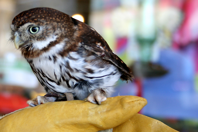 Pygmy Owl W.E.R.C. photo Marie Cameron 2015