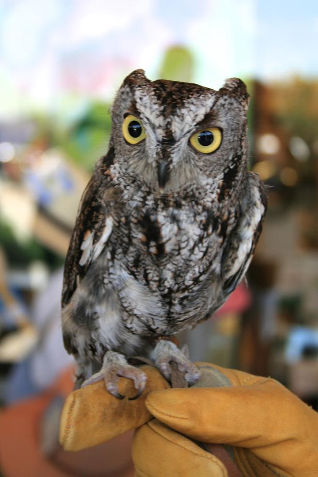 Screech Owl W.E.R.C. photo Marie Cameron 2015