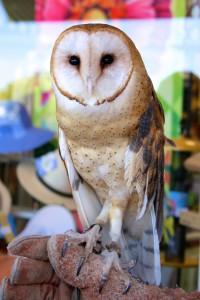 Barn Owl W.E.R.C.