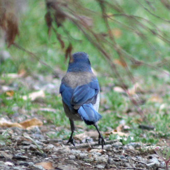 Scrub Jay on Green