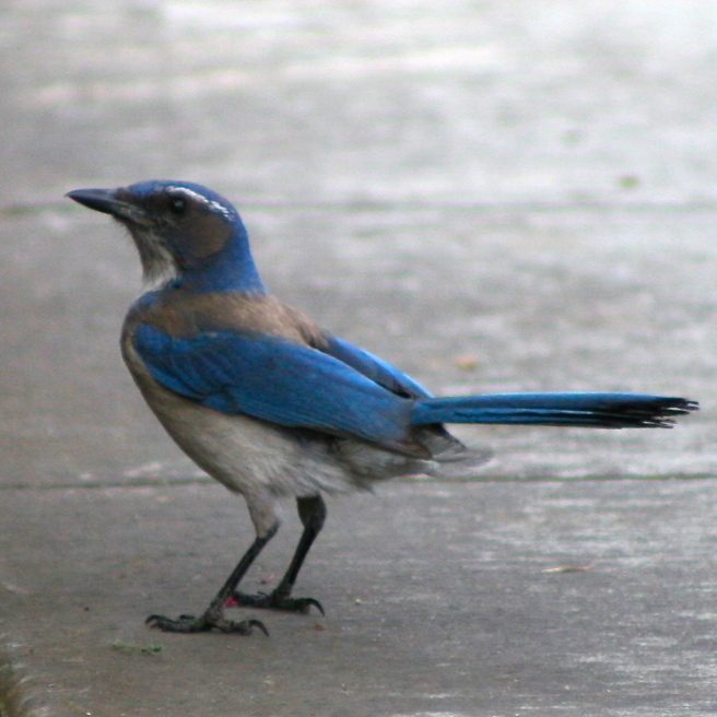 Scrub Jay on Gray