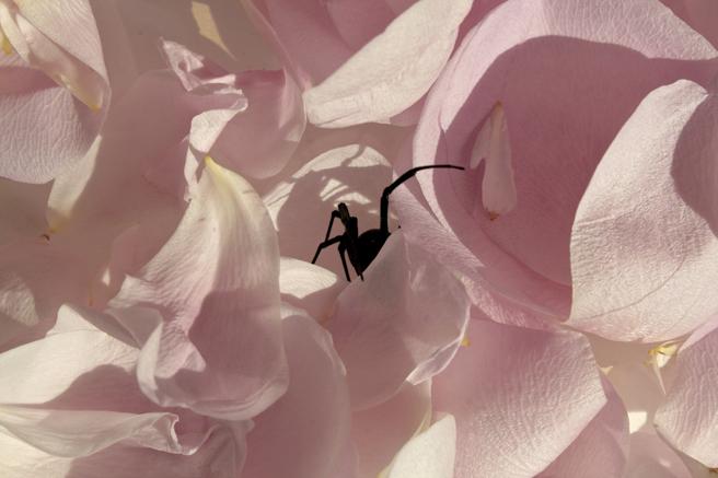 Widow and Petals I - Marie Cameron 2015