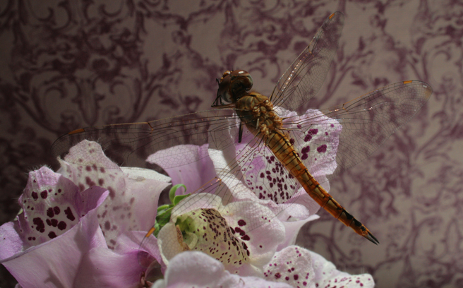 Dragonfly and Foxglove- photo Marie Cameron 2015