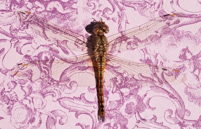 Dragonfly on Lavender- photo Marie Cameron 2015