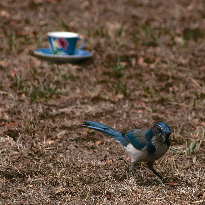 Scrub Jay and Teacup 1 - photo Marie Cameoron 2015