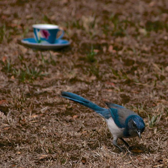 Scrub Jay and Teacup 3 - photo Marie Cameoron 2015