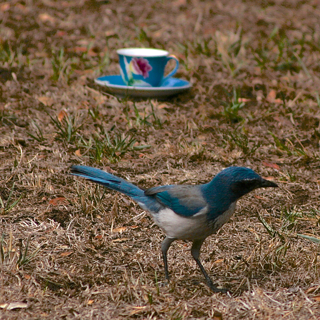 Scrub Jay and Teacup 4 - photo Marie Cameoron 2015