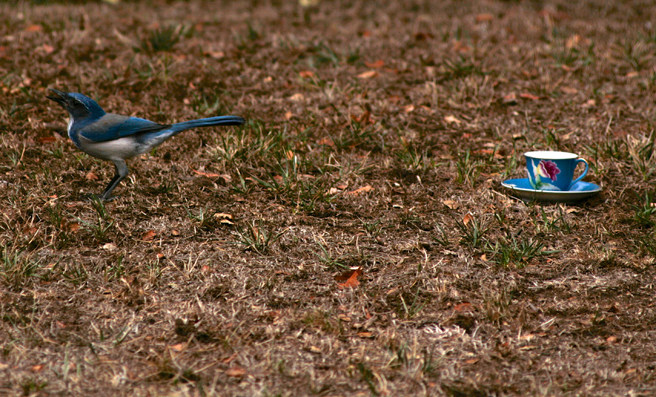 Scrub Jay and Teacup 5 - photo Marie Cameoron 2015