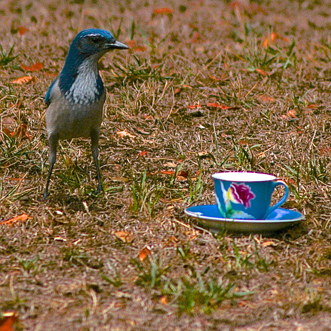 Scrub Jay and Teacup 7 - photo Marie Cameoron 2015