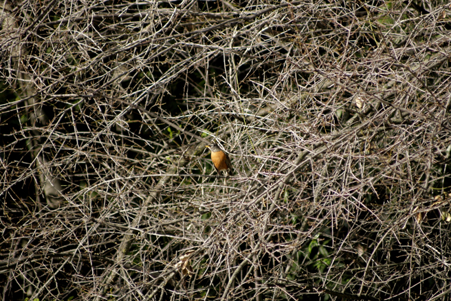 Robin in the Dormant Plum - Marie Cameron 2016