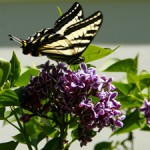 Tiger Swallowtail in the Lilacs 3 - Marie Cameron 2016 sm