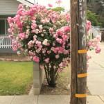 Suburban Jungle - Roses 2- Marie Cameron 2016 sm