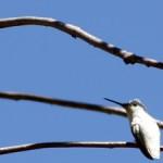 Leucistic Hummingbird-UCSC Arboretum-11-photo Marie Cameron 2016