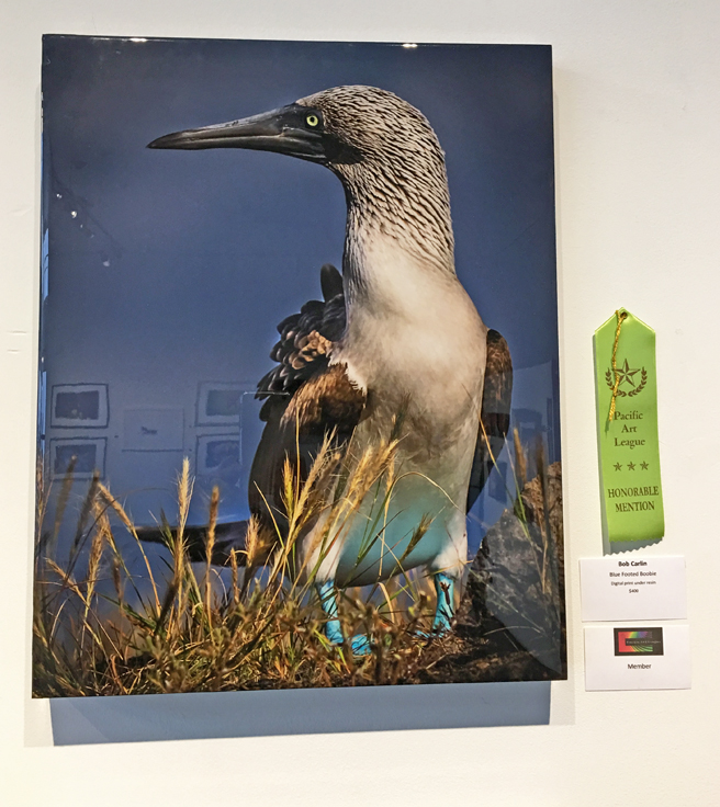 Bob Carlin - Blue Footed Boobie - Digital Print Under Resin - Fur Feathers and Fins - Pacific Art League - photo Marie Cameron 2017